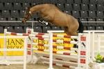 Carpani beim Freispringwettbewerb des Programms Hannoveraner Springpferdezucht